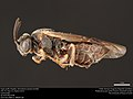 Argid sawfly (Argidae, Sterictiphora serotina (Smith)) (37558770066).jpg