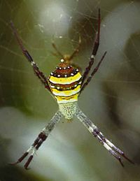 Argiope.species.2.jpg