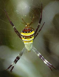 Argiope.species.2.jpg