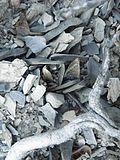 Ariocarpus scapharostrus (5727593572).jpg