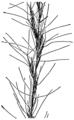 Aristida longespica geniculata HC-1950.png