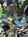 Aristolochia pistolochia Habitus 12April2009 DehesaBoyaldePuertollano.jpg
