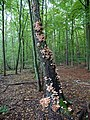 Armillaria on a tree in the Spandauer Forst 2.jpg