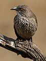 Arrow-marked Babbler, Turdoides jardineii, at Pilanesberg National Park, Northwest Province, South Africa (29600032571).jpg
