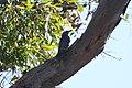 Artamus superciliosus (32567833951).jpg