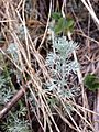 Artemisia austriaca sl9.jpg