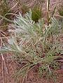 Artemisia campestris, Pancake Bay 2.jpg