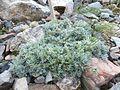 Artemisia nitida - Viote 03.jpg