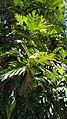 Artocarpus altilis in Brazil 3.jpg