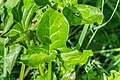Arum maculatum in Aveyron (3).jpg