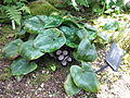 Asarum maximum1.jpg