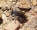 Asilidae . Robberfly (31861817754).jpg