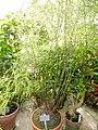 Asparagus virgatus - Copenhagen Botanical Garden - DSC08012.JPG