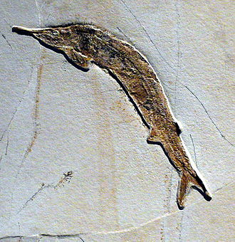 Teleost - Aspidorhynchus acustirostris, an early teleost from the Middle Jurassic, related to the bowfin