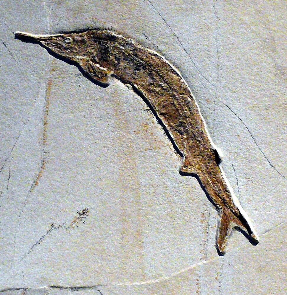 Aspidorhynchus acustirostris