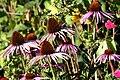 Asteraceae IMG 7662.JPG
