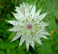 Astrantia major 3 (Picos).JPG