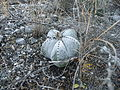 Astrophytum myriostigma (5699845918).jpg
