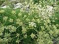 Athamanta cretensis 917.JPG