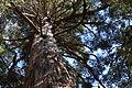 Athrotaxis laxifolia.jpg