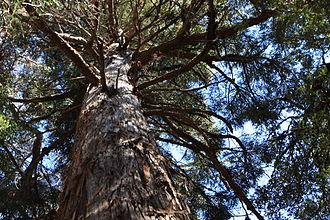Athrotaxis laxifolia - Image: Athrotaxis laxifolia