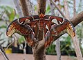Atlas Moth (Attacus atlas) (1).jpg