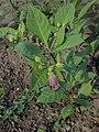 Atropa belladonna kz03.jpg