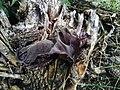 Auricularia auricula judae1.jpg