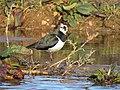 Avefría (Vanellus vanellus).jpg