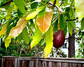 Avocado tree next door.jpg
