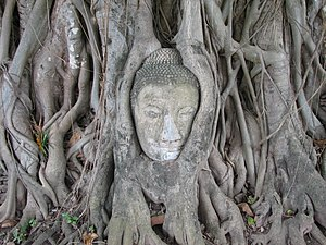 Ayutthaya Kingdom - Buddha head overgrown by fig tree in Wat Mahatat, Ayutthaya historical park