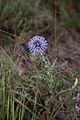 Azurite-Echinops ritro-Calvisson-20140804.jpg
