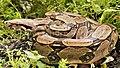 B. constrictor.jpg