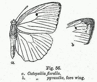 Catopsilia florella - Image: BH013 Catopsilia florella & pyranthe FW