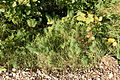 BL - Bodman - Hofgut Bodenwald - Wallburg - Euphorbia cyparissias 01 ies.jpg