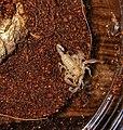 Baby emperor scorpions.jpg