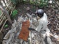 Back cloth preparation from a fig tree in Uganda 04.jpg