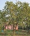 Bael (Aegle marmelos) tree at Narendrapur W IMG 4115.jpg