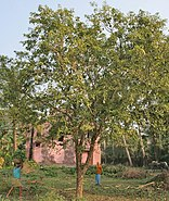 Bael (Aegle marmelos) tree at Narendrapur W IMG 4115
