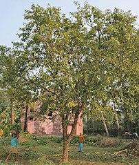 Bael Aegle marmelos at Narendrapur near Kolkat...