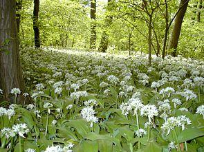 Bärlauch (Allium ursinum) zur Blütezeit