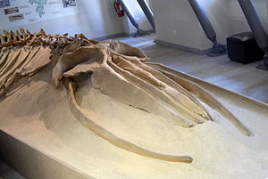 Common minke whale - Fossil of Balaenoptera acutorostrata cuvieri from Pliocene of Italy