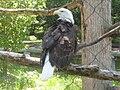 Bald Eagle at Lansing Potter Park Zoo.jpg