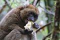Bamboo lemur Prolemur simus (15287923603).jpg