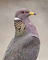 Band-tailed Pigeon (Explored 7-4-17 -106) (35684561906).jpg