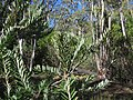 Banksia marginata (37578745290).jpg