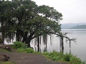 Banyan tree on the banks of Khadakwasla Dam