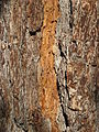 Bark of Culter Pine.jpg