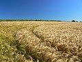 Barley field, Hackpen Hill - geograph.org.uk - 885337.jpg