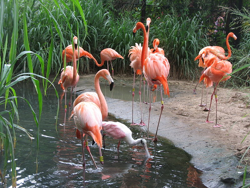 File:Barranquilla Zoológico Flamencos.jpg